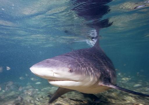 Sydney Harbour Shark Attack